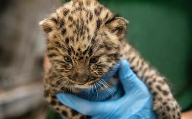 Bratislavskú zoo dnes uzavreli predčasne, údajne sa hľadá leopardie mláďa