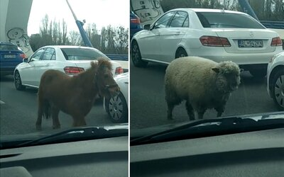 Bratislavským mostem se prohnal poník s ovcí a za nimi tři policejní auta. Zvířecí uprchlíci se postarali o pořádný chaos