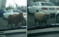 Bratislavským mostom sa prehnali poník s ovcou a za nimi tri policajné autá. Zvierací utečenci sa postarali o poriadny chaos