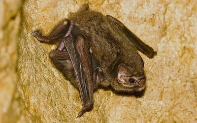 Brazílske netopiere sa po prvýkrát začali kŕmiť aj ľudskou krvou. Upíry boli zvyknuté na krv vtákov, ale musia sa prispôsobovať zmenám