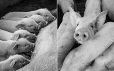Britské farmy budou muset zabít a spálit desetitisíce prasat. Po brexitu se o ně nemá kdo starat