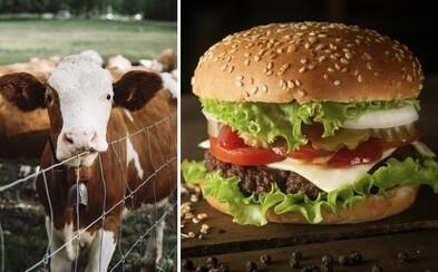 Burger King chce být ekologičtější. Krávy začne krmit potravou, po které budou méně prdět