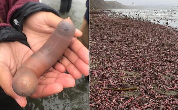Búrka vyplavila na pobrežie tisícky morských živočíchov, ktoré pripomínajú mužský pohlavný orgán