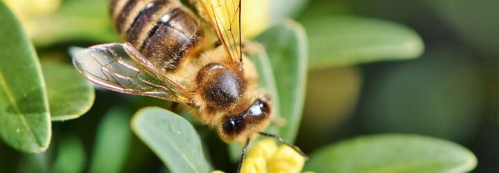 Včela spadla do medu a zomrela by, keby jej kolegyne okamžite nepomohli