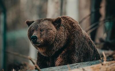 Muže na Sibiři zabil medvěd před očima jeho přátel. Ti pak šli sedm hodin naboso pro pomoc.