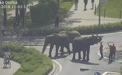 Centrem Přerova se promenádovali tři sloni. Napájeli se z kašny a zpět do cirkusu je musela doprovodit policie