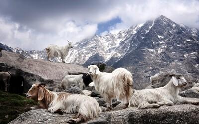 Cesta od surového kašmíru k luxusnému šálu alebo svetríku