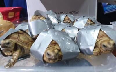 Cestující nechal kufry na letišti, při otevření policie objevila želvy v hodnotě 1,7 milionu