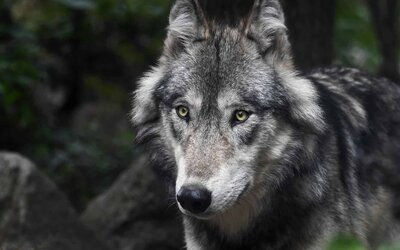 Chceme střílet vlky, požadují myslivci. Zvíře by prý už nemělo být chráněno