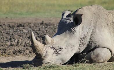 Čína hodlá po 25 letech povolit obchodování s rohy nosorožců a tygřími kostmi