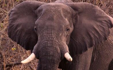 Čína oficiálne zakazuje obchod so slonovinou. Slony africké vďaka tomu môžu predísť vyhynutiu