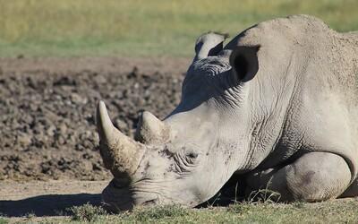 Čína plánuje po 25 rokoch povoliť obchodovanie rohmi nosorožcov a tigrími kosťami