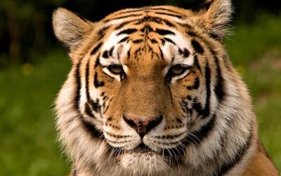 Čína vybuduje gigantický národní park, aby zachránila tygra ussurijského od vyhynutí. Rozlohou výrazně překoná i Yellowstone
