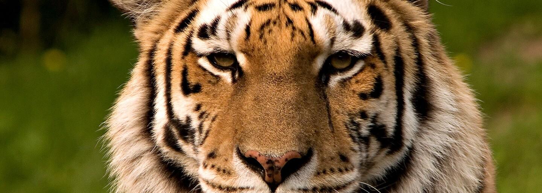 Čína vybuduje gigantický národný park, aby zachránila tigra sibírskeho od vyhynutia. Rozlohou výrazne prekoná aj Yellowstone