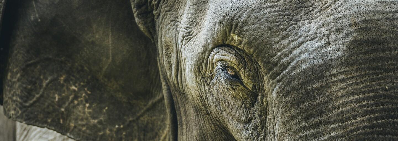 Čína zakázala obchod se slonovinou. Ohroženého druhu je na světě už jen pár set tisíc