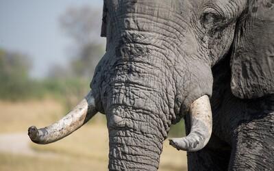 Čína zakázala obchod so slonovinou. Ohrozeného druhu je na svete už len pár stoviek tisíc
