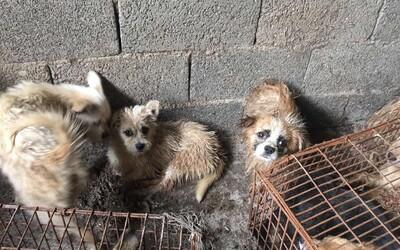 Čínský festival psího masa pobouřil lidi po celém světě. Zvířata jsou dokonce grilována zaživa