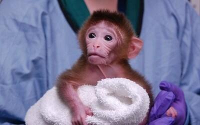 Čínští vědci chtějí vytvořit hybrid mezi opicí a člověkem. Na takzvaných chimérách by se měly dělat experimenty