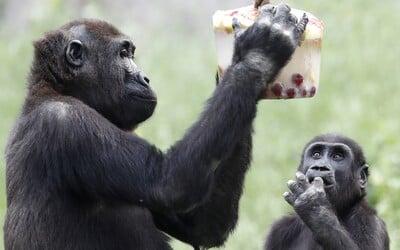 Covid-19 mají i gorily. Nákazu u nich odhalili v kalifornské ZOO poté, co začaly kašlat