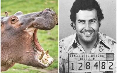 Kolumbie zasáhla proti hrochům Pabla Escobara, kteří vytlačovali původní faunu. Zvířata sterilizovali.