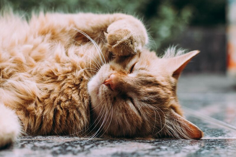 Mačky pradú, iba keď sú spokojné a šťastné.