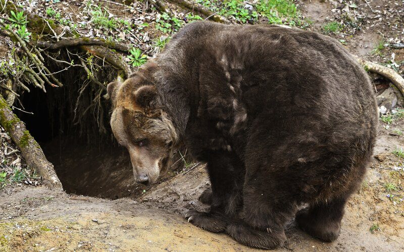 Na Liptove našli mŕtve telo muža, ktorého zrejme zabil medveď. Podľa lesníkov ide o historicky prvý prípad.