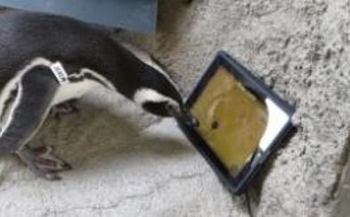 Dajte tučniakom svoj iPad a máte o zábavu postarané!