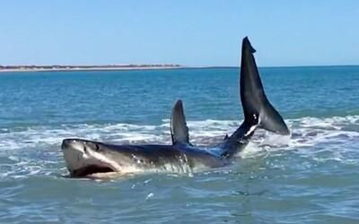 Dale si myslel, že uvízl, ale ve skutečnosti se obrovský žralok bílý jen krmil pár metrů od něj. Se zvířetem si tak aspoň udělal selfie
