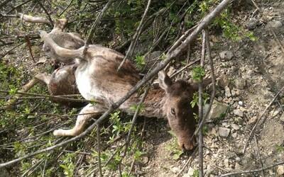 Daniele po naháňačke so psami skočili zo skál. Prípady, kedy domáce zvieratá útočia na jelene a srny, sú čoraz častejšie