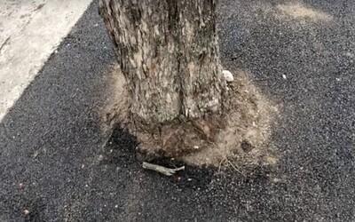 Dělníci zalili kořeny stromů asfaltem. Není jisté, zda je bude možné zachránit