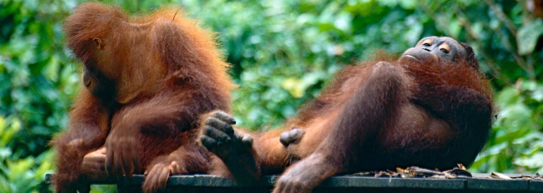 Denně kvůli lidem umře zhruba 25 orangutanů. Výrobce Orea za 2 roky zničil 25 000 hektarů jejich pralesů