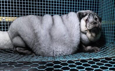 Desivo obézne líšky na farmách šľachtia preto, aby mohli predať čo najviac srsti. Kožušina potom končí vo svetoznámych spoločnostiach