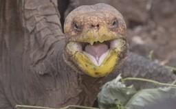 Diego mal tak veľa sexu, že zachránil svoj druh: Storočná korytnačka za sebou zanechá obrovské potomstvo