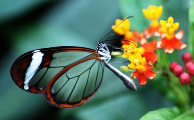 Displeje budoucnosti inspirované motýlími křídly se budou blížit k dokonalosti