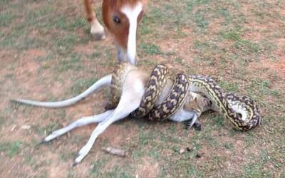 Dlouhatánské krajtě nedělalo problém usmrtit a spolknout celého klokana. Přihlížející kůň nemohl uvěřit vlastním očím