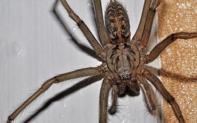 Do domácností Spojeného kráľovstva vtrhne asi 150 miliónov pavúkov. Osemcentimetrové beštie sú dôsledkom pozoruhodného počasia