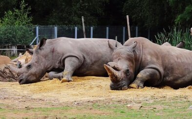Do francúzskej ZOO sa vlámali pytliaci, zastrelili nosorožca a odpílili mu oba rohy. Štvorročný Vince bol pýchou zoologickej záhrady