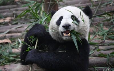 Do pražské zoo přibudou vzácné pandy velké. Takhle bude vypadat jejich nové obydlí
