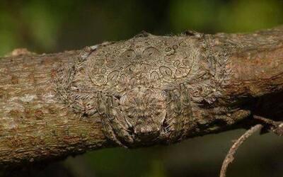 Dokážeš na této větvi najít pavouka?