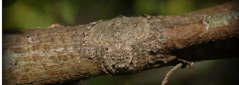 Dokážeš na tomto konári nájsť pavúka? Austrálske beštie sa dokážu šikovne maskovať