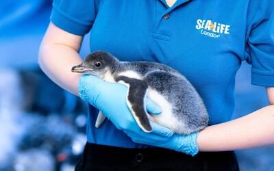 Dva lesbické tučniaky si adoptovali prvé mláďatko. Odborníci zistili, že sa o vajíčko budú vedieť dobre postarať