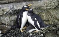 Dvě samičky tučňáka se poprvé staly matkami, své mládě vychovávají společně