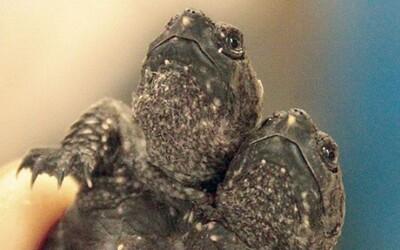 Dvojhlavá ninja korytnačka v obrovskom náklade z Číny