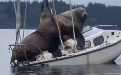 Dvojica gigantických uškatcov si z lode spravila priestor na odpočinok. Svojou váhou ju takmer potopili