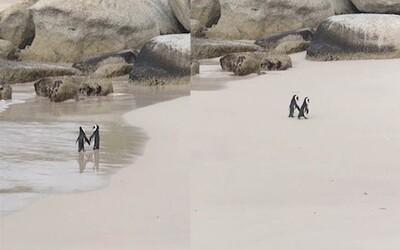 Dvojice tučňáků držící se za křídla je to nejrozkošnější, co dnes uvidíš. Romantickou procházku si užívala přímo u moře