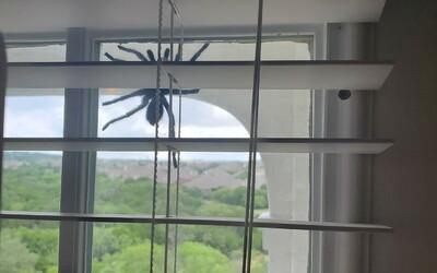 Dvojicu zaskočila obrovská tarantula väčšia ako ľudská ruka na dverách domu