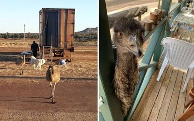 Dvojmetrové vtáky emu začali piť hosťom kávu a jesť sendviče. Hotel, kde bývali ich musel po rokoch vyhodiť