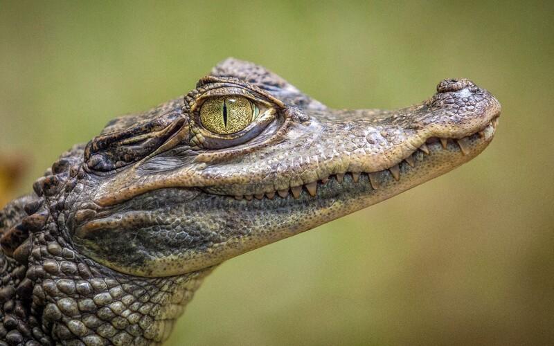 Po Ostravě se potuluje krokodýl. Zhruba metr dlouhý aligátor utekl chovateli a pátrá po něm i policie.