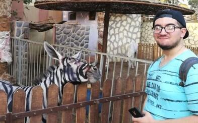 Egyptská zoo nezohnala zebru, tak premaľovala somára. Vydávala ho za čiernobiele zviera, ale ľudia začali byť podozrievaví