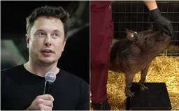 Elon Musk predstavil čip implantovaný v mozgu prasaťa. U ľudí ním chce liečiť choroby či prepájať s umelou inteligenciou